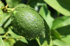 зеленый лимон Стоковые Изображения