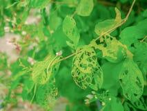 Зеленый лист укус уже червем стоковые фотографии rf