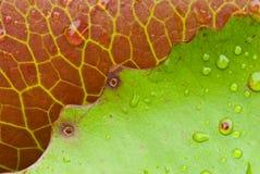 зеленый лотос листьев Стоковые Фотографии RF