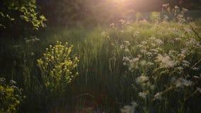 Зеленый луг в заходящем солнце сток-видео