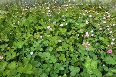 Зеленый луг клевера и маргаритки лужайки Стоковые Изображения