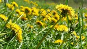 Зеленый луг с зацветая желтыми одуванчиками сток-видео