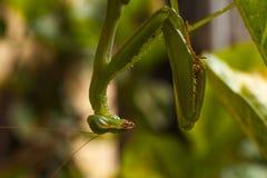 Зеленый макрос 2 богомола Стоковое фото RF