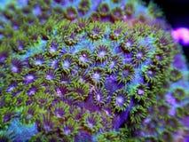Зеленый макрос коралла Cyphastrea стоковое изображение rf