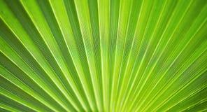 Зеленый макрос предпосылки ветви ладони Текстура конца ветви ладони вверх Стоковое Изображение