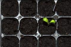 Зеленый маленький росток пусканный ростии из земли Молодое избежание растя из земли стоковые фото