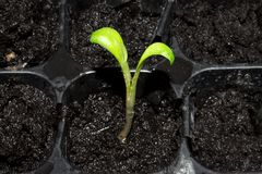 Зеленый маленький росток пусканный ростии из земли Молодое избежание растя из земли стоковое фото rf