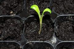 Зеленый маленький росток пусканный ростии из земли Молодое избежание растя из земли стоковое изображение rf