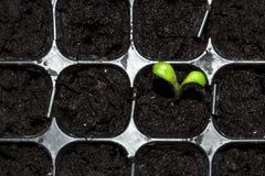 Зеленый маленький росток пусканный ростии из земли Молодое избежание растя из земли стоковое фото