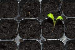 Зеленый маленький росток пусканный ростии из земли Молодое избежание растя из земли стоковое изображение