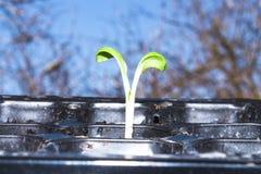 Зеленый маленький росток пусканный ростии из земли Молодое избежание растя из земли стоковые фотографии rf