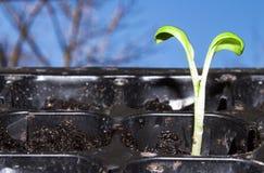 Зеленый маленький росток пусканный ростии из земли Молодое избежание растя из земли стоковые изображения rf