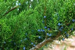 Зеленый можжевельник с голубыми конусами, coniferous заводами стоковое фото rf