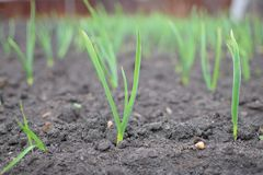 Зеленый молодой лук от земли на весне на саде стоковые фото
