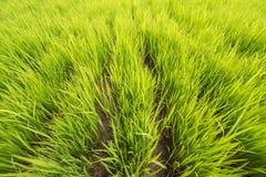 Зеленый молодой пади поля риса bali Индонесия стоковые фото