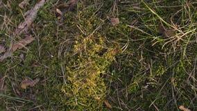 Зеленый мох в лесе захода солнца с теплым пирофакелом света и солнца через деревья - прибалтийские древесины - медленное движение сток-видео