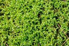 Зеленый мох в предпосылке леса Стоковая Фотография