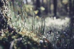 Зеленый мох в солнечном свете Свет и bokeh предпосылки травы Предпосылка природы с фильтром стиля Instagram Пуща покрашенная осен Стоковая Фотография