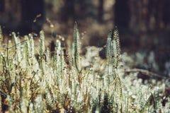 Зеленый мох в солнечном свете Свет и bokeh предпосылки травы Предпосылка природы с фильтром стиля Instagram Пуща покрашенная осен Стоковое Изображение