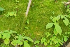 Зеленый мох для текстуры предпосылки Стоковое Изображение RF