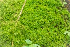 Зеленый мох для текстуры предпосылки Стоковые Изображения