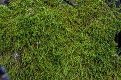Зеленый мох и текстура и предпосылка лишайника Мшистая деревянная предпосылка Взгляд крупного плана зеленых мха и лишайника Стоковое Изображение RF