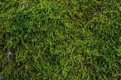 Зеленый мох и текстура и предпосылка лишайника Мшистая деревянная предпосылка Взгляд крупного плана зеленых мха и лишайника Стоковая Фотография RF