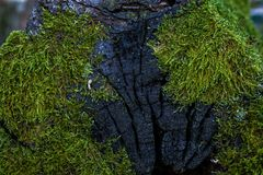 Зеленый мох и текстура и предпосылка лишайника Мшистая деревянная предпосылка Взгляд крупного плана зеленых мха и лишайника Стоковая Фотография