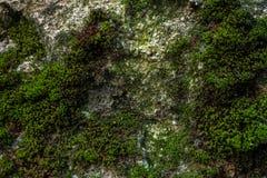 Зеленый мох и текстура и предпосылка лишайника Мшистая деревянная предпосылка Взгляд крупного плана зеленых мха и лишайника Стоковые Фото