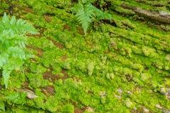 Зеленый мох на камне для текстуры предпосылки Стоковое Изображение RF