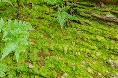 Зеленый мох на камне для текстуры предпосылки Стоковая Фотография