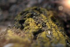 зеленый мох на предпосылке коры макрос мха на лесе дерева коры весной в солнечном свете стоковые фотографии rf