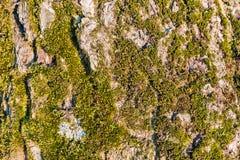 Зеленый мох растя на дереве Дерево расшивы предусматриванное в мхе Текстура дерева с мхом Справочная информация Стоковое Фото