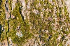 Зеленый мох растя на дереве Дерево расшивы предусматриванное в мхе Текстура дерева с мхом Справочная информация Стоковая Фотография
