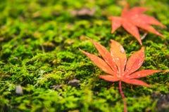 Зеленый мох с красной осенью Японии кленового листа Стоковые Фотографии RF