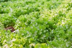 зеленый овощ дуба hydroponics Стоковая Фотография