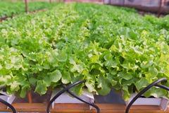 зеленый овощ дуба hydroponics Стоковые Фотографии RF