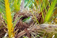 Зеленый одичалый попугай сидя в гнезде в пальме, Барселона Стоковое фото RF
