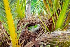 Зеленый одичалый попугай сидя в гнезде в пальме, Барселона Стоковые Фотографии RF