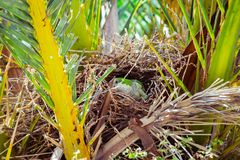 Зеленый одичалый попугай строя гнездо на пальме, Барселоне Стоковые Фото