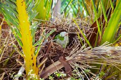Зеленый одичалый попугай строя гнездо на пальме, Барселоне Стоковая Фотография RF