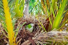 Зеленый одичалый попугай строя гнездо на пальме, Барселоне Стоковое Фото