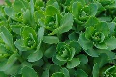 зеленый орнаментальный завод Капуста succulents Естественная предпосылка зеленых листьев цветка стоковые изображения rf