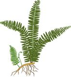 Зеленый папоротник с ризомом и корнями иллюстрация вектора