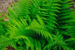 Зеленый папоротник увиденный сверху Стоковые Фотографии RF