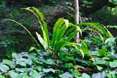 Зеленый папоротник Харт-языка вместо их среды обитания стоковая фотография