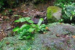 Зеленый папоротник Харт-языка в тенистом лесе стоковые изображения