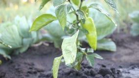 Зеленый перец на кусте в саде видеоматериал