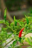 Зеленый перец chili на огороде сырцового chili пищевого ингредиента Стоковое фото RF