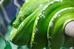 Зеленый питон вала Стоковые Фотографии RF